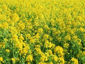 rape_flower_15-1152x864